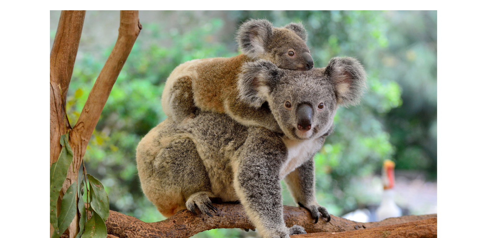 The animals of Australia are in trouble